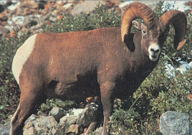 DELTA BLANCO PAPEL BIGHORN RAM #112 70565